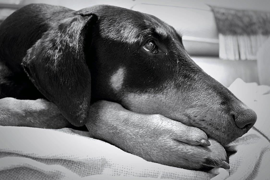 blanc i negre, cap de gos, gos