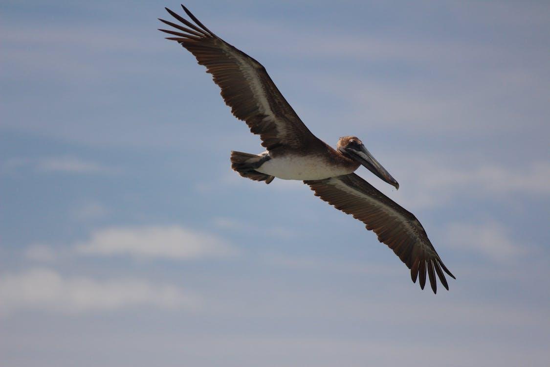 let, pelikán