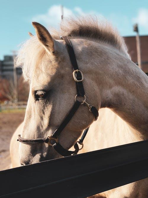 Immagine gratuita di cavallo, equitazione, groppa