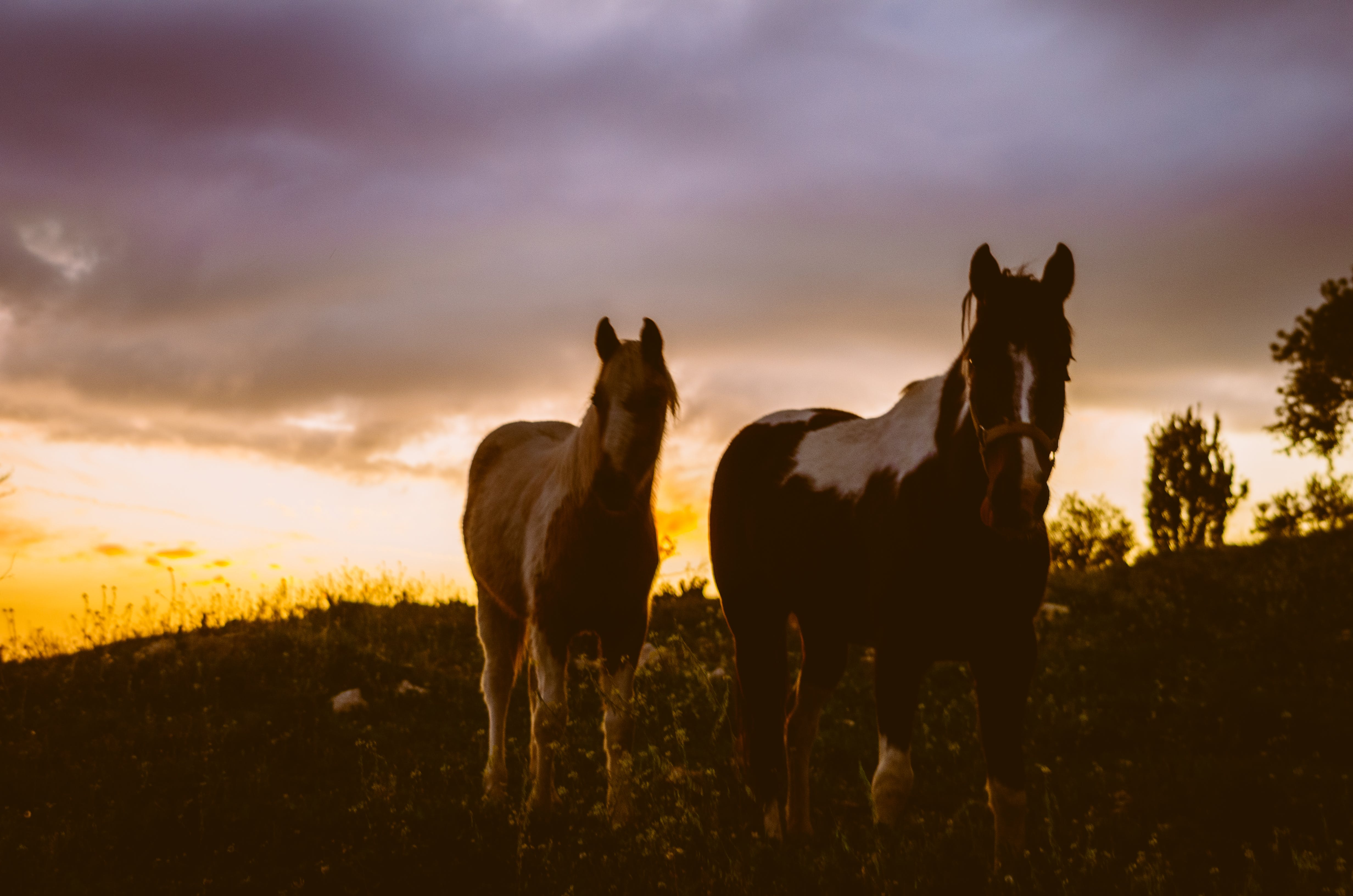 Free stock photo of sunset, horses, horse