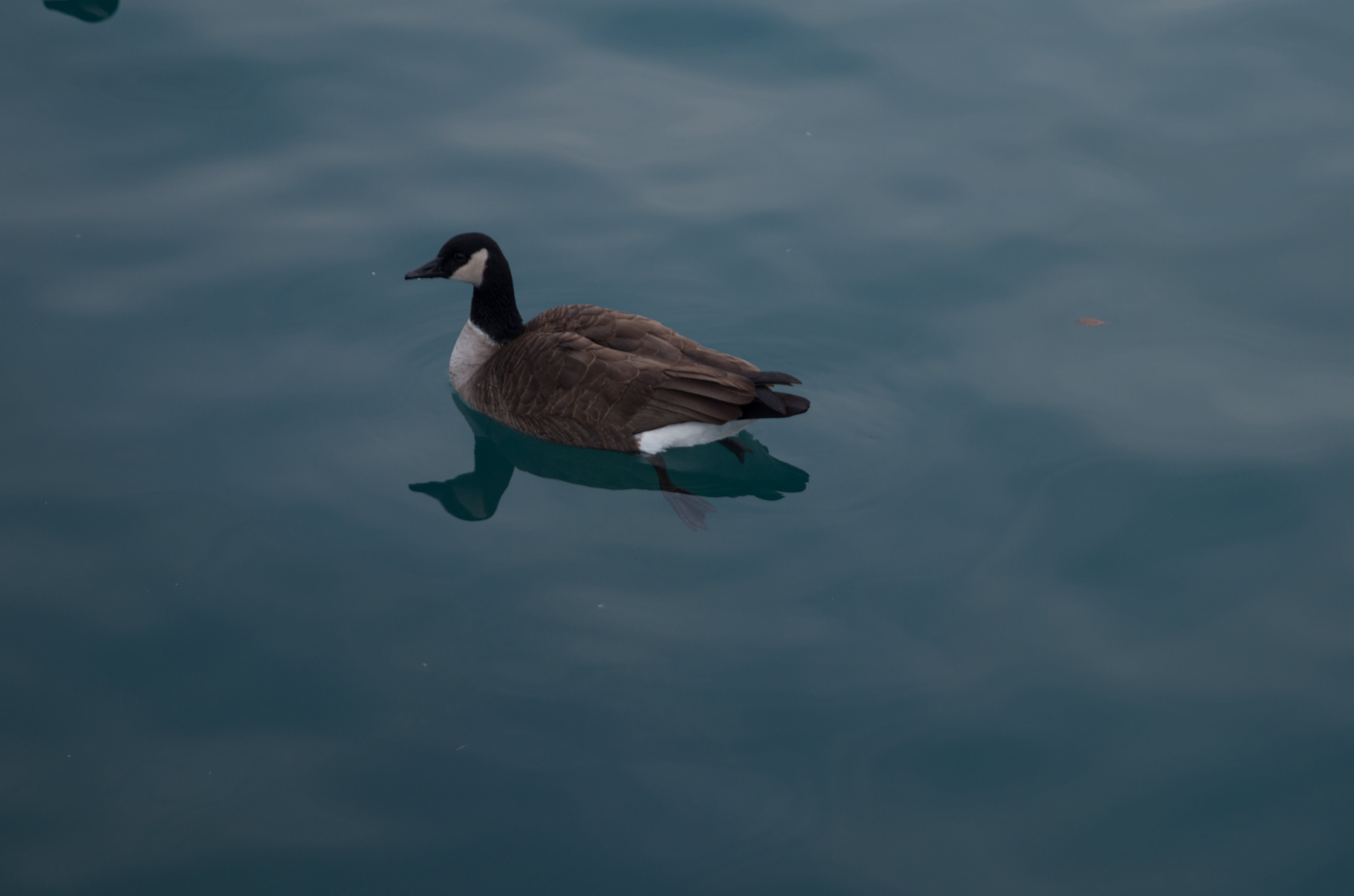Free stock photo of duck, water