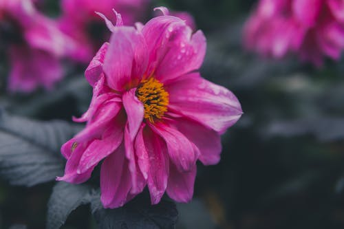 Selective Focus of Pink Petaled Flower