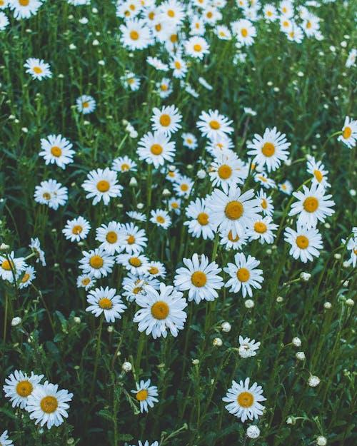 Ilmainen kuvapankkikuva tunnisteilla aurinko, heinäpelto, kamomilla, kasvikunta