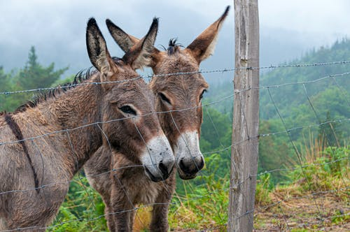 Donkeys Behind the Wire Fence