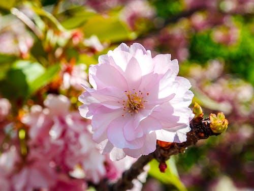 Fotos de stock gratuitas de Budapest, chery, cheryflower