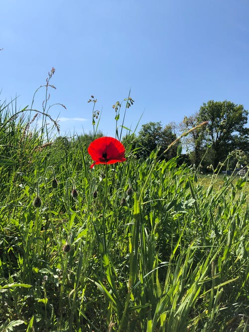 Free stock photo of beautiful flower, green grass, red flower