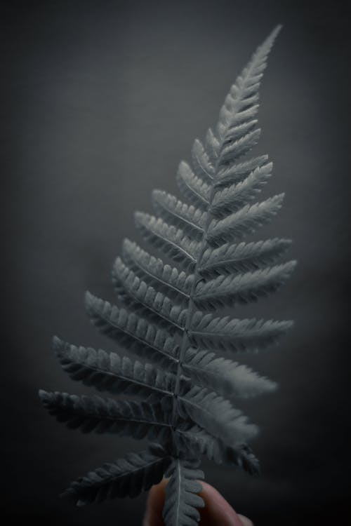 Fresh leaf of silver fern tree in hand of anonymous person against black background
