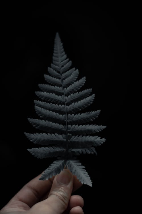 Anonymous person showing Cyathea dealbata tree leaf