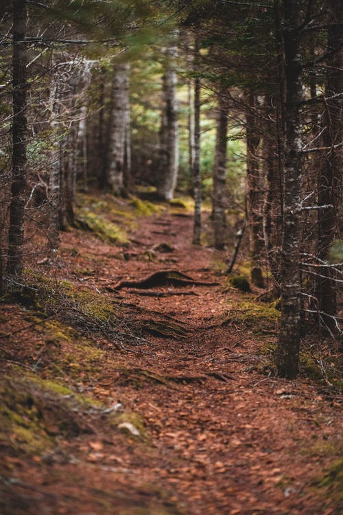 Narrow path through coniferous trees in autumn forest
