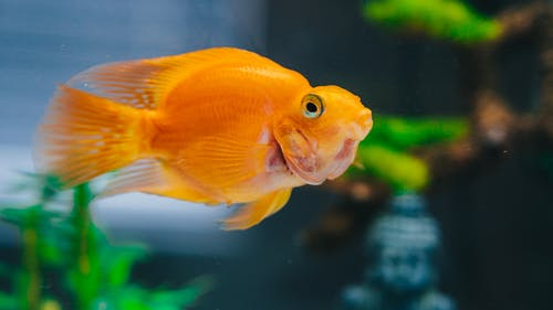Photo of Goldfish in Fish Tank