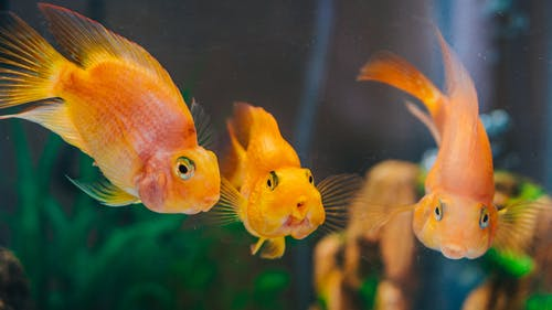 Orange Fish in Fish Tank