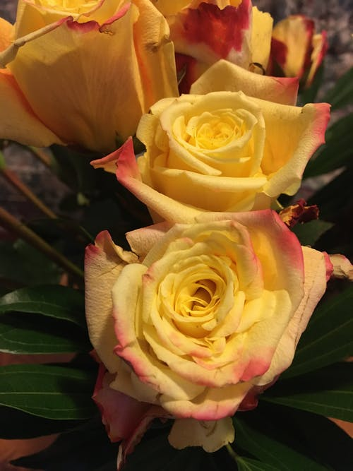 Free stock photo of garden roses, golden yellow, rose