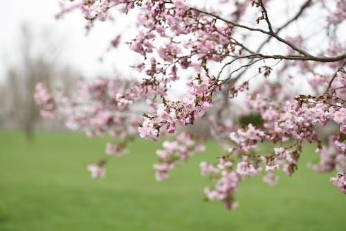 Blooming sakura growing in park with green field