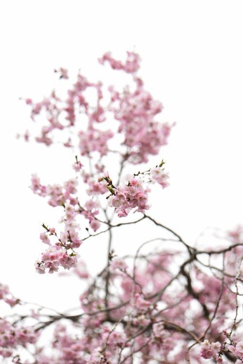 Бесплатное стоковое фото с белый фон, весенний цветок, весна, ветвь