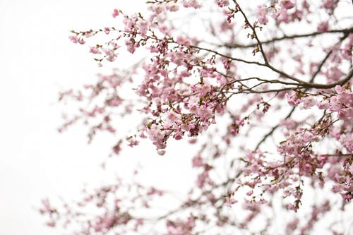 Pink Cherry Blossoms on White Background