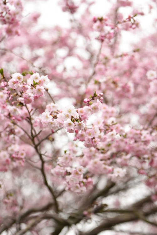 Selective Focus Photo of Pink Cherry Blossom