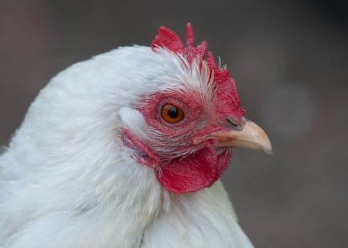 닭의 무료 스톡 사진