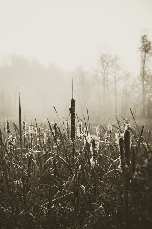 Free stock photo of cattails, fog, monochrome, nature