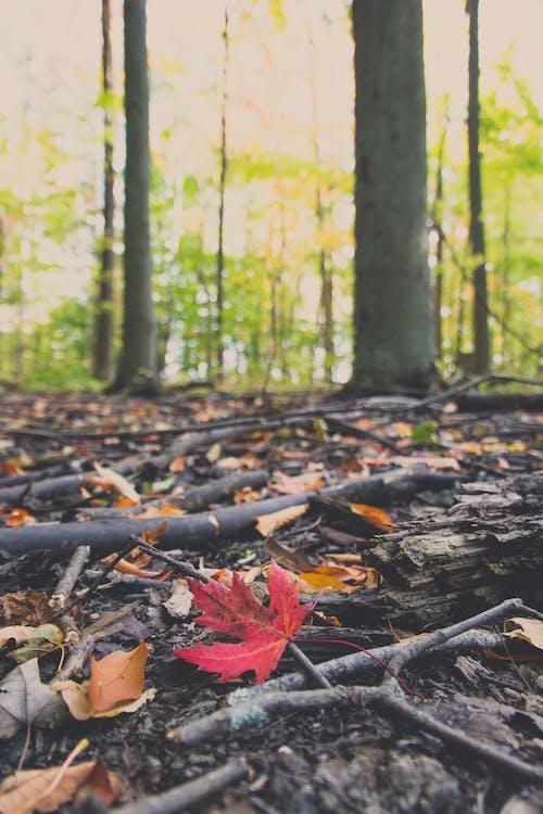 Základová fotografie zdarma na téma červená, kanada, les, lesní půda