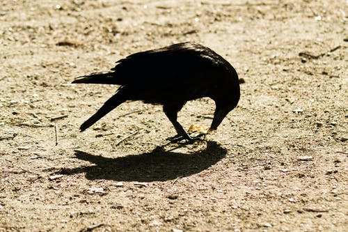 Free stock photo of crow, sun