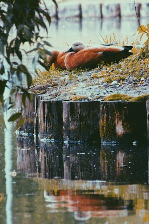 Δωρεάν στοκ φωτογραφιών με ζώο, Μόσχα, νερό, πάπιες