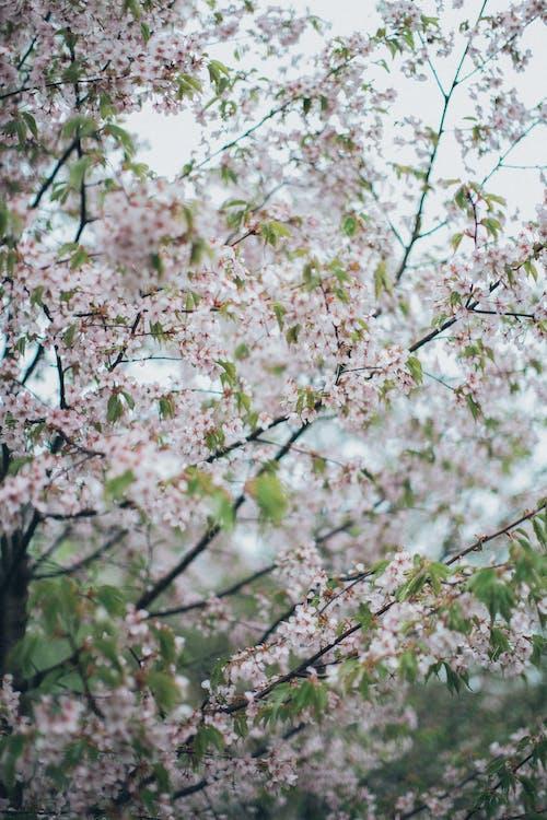 White Cherry Blossom Tree