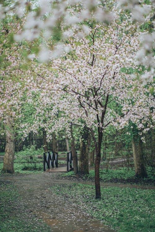 Photo of White Cherry Blossom Tree
