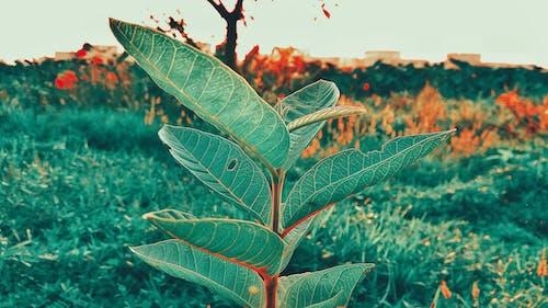 Foto profissional grátis de chandan suman, folhas verdes, natureza, plantas