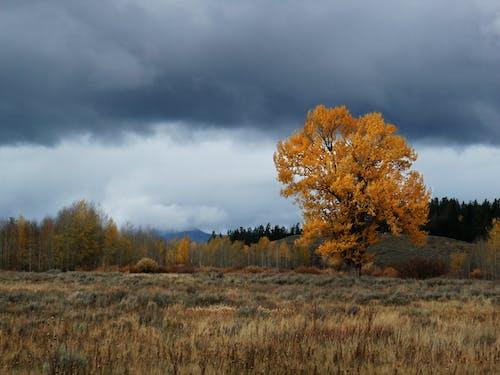 Free stock photo of Fall Tree in Gran Teton