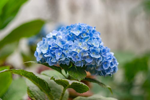 Kostenloses Stock Foto zu blatt, blau, blaue blume