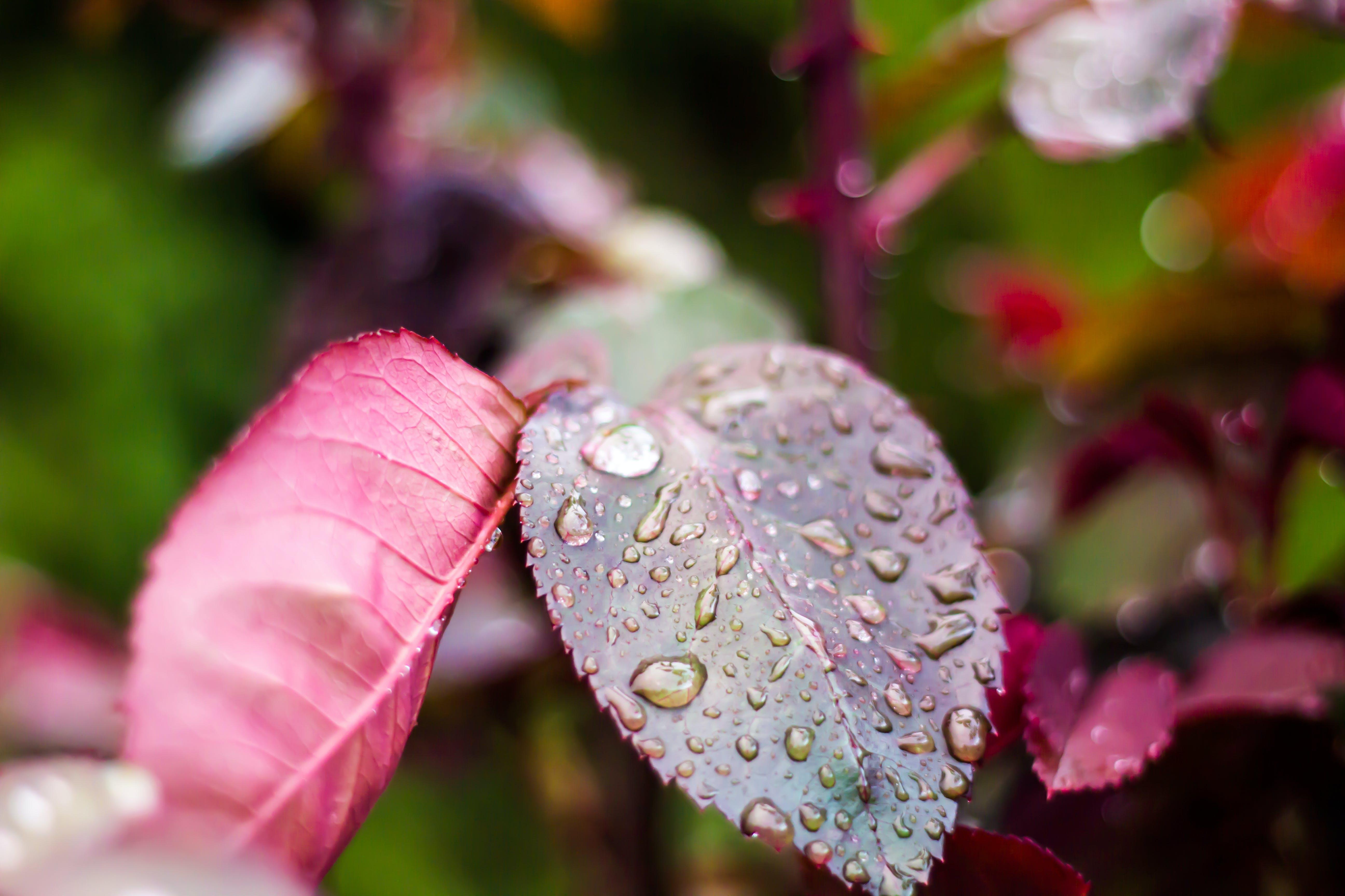 Kostenloses Stock Foto zu natur, regen, farbe, rose