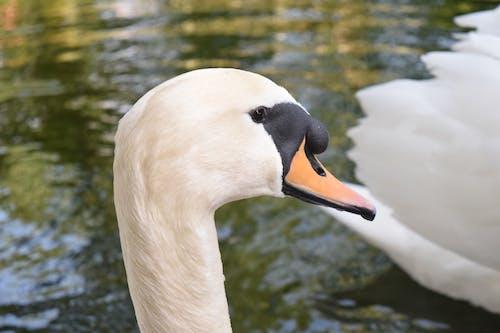 Fotos de stock gratuitas de agua, al aire libre, cisne