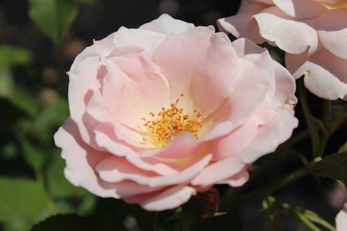 Gratis lagerfoto af blød, blomst, feminin, lyserød