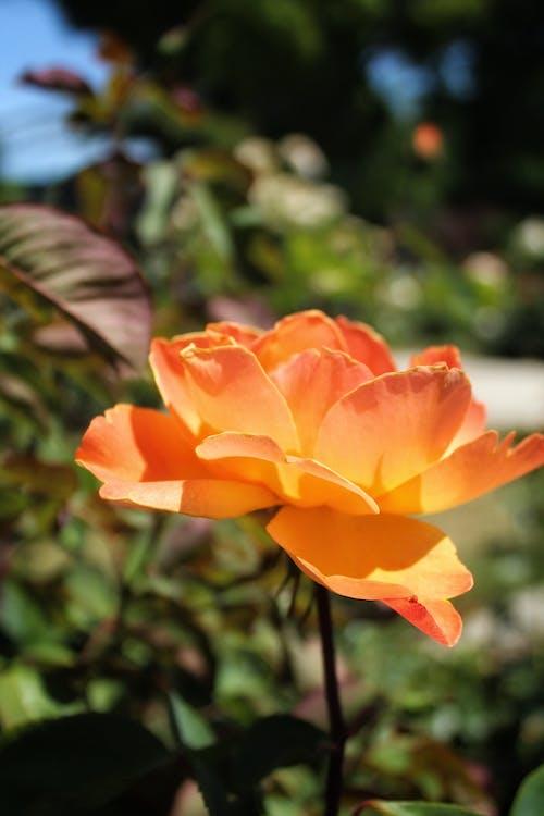 Gratis lagerfoto af blomsterhave, have, Orange blomst, rose