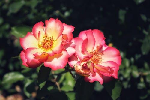 Gratis lagerfoto af blomstrende blomster, forårsblomster, have, haven roser