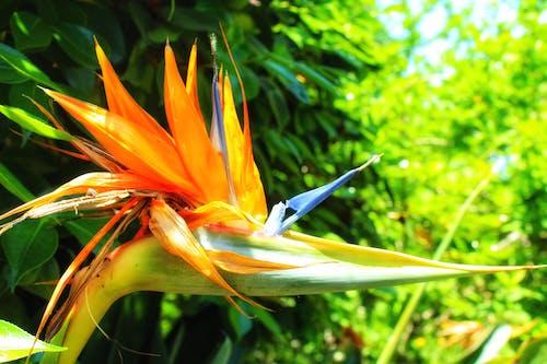 Gratis lagerfoto af forårsblomster, Orange blomst, paradisfugle, smuk blomst