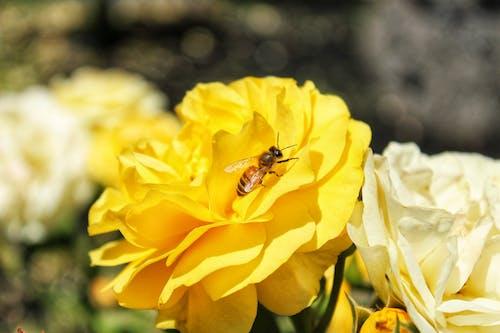 Gratis lagerfoto af bi, blomst, blomstrende roser, gul blomst