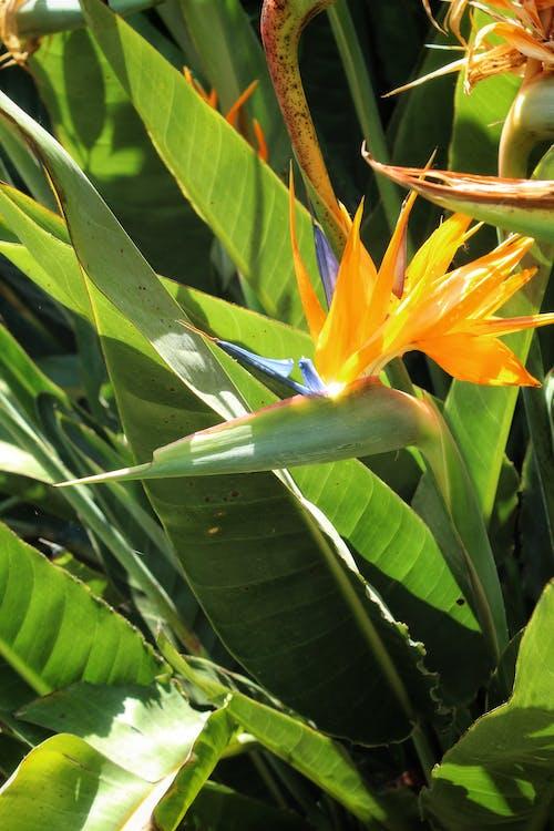 Gratis lagerfoto af Orange blomst, paradisfugle, smuk blomst, tropisk have