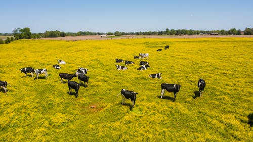 Herd of Cow on Grass Field