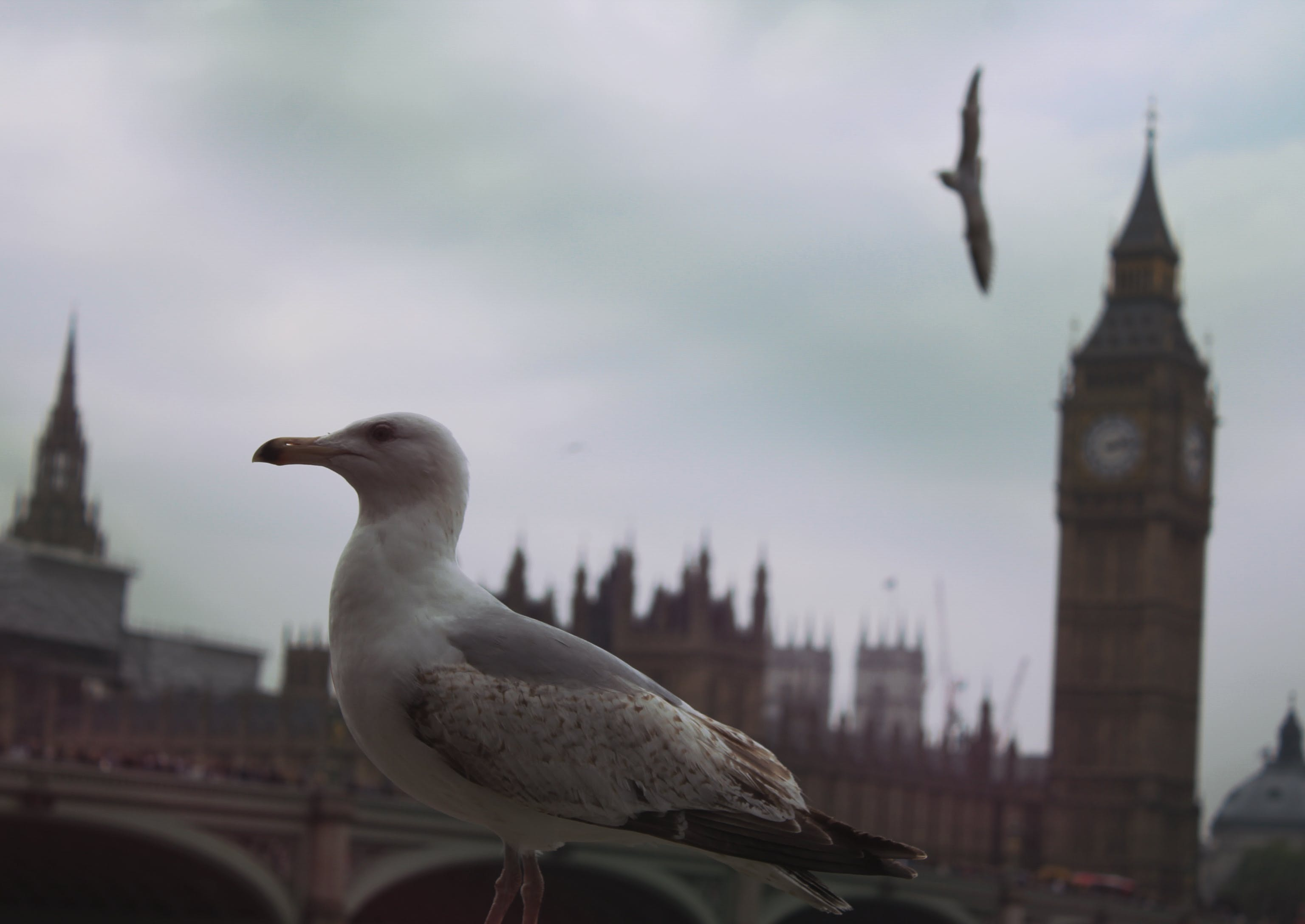 Free stock photo of city, seagull, england, big ben