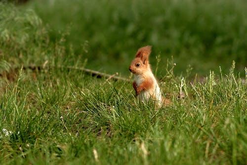 可愛, 哺乳動物, 囓齒動物 的 免費圖庫相片