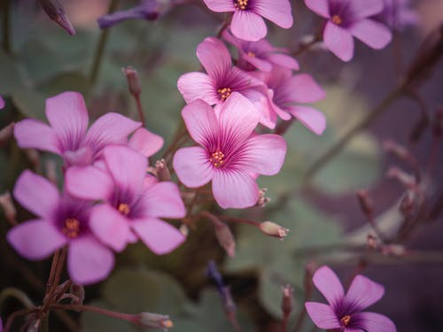 Delicate fresh oxalis flowers blooming and growing on blurred background in summer day