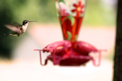 Free stock photo of animal, hummingbird, nature
