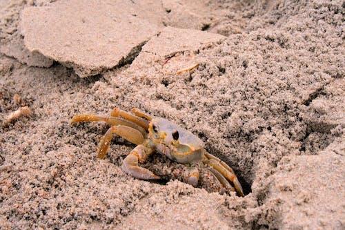Free stock photo of animal, beach, crab