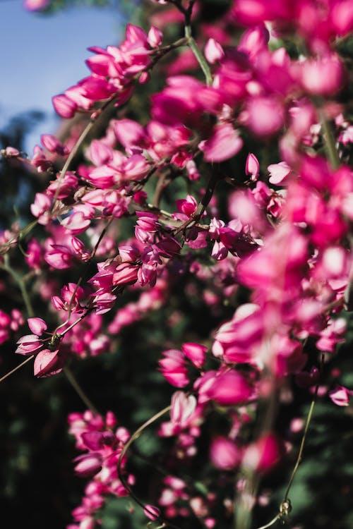Free stock photo of beautiful flower, nature, pink