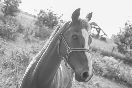 Základová fotografie zdarma na téma černobílý, farma, hospodářská zvířata, jednobarevný
