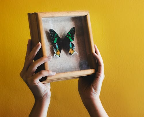 Person Holding White Wooden Framed Butterfly Print