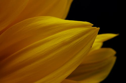 Yellow Flower in Black Background