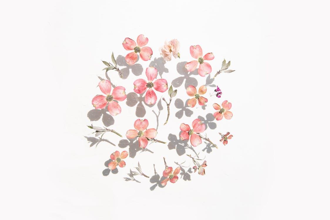 Kostenloses Stock Foto zu blütenblätter, pinke blumen, schatten