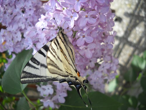Free stock photo of beautiful flowers, butterfly, lilac
